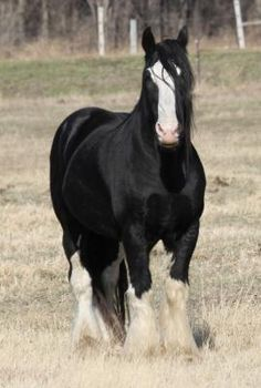 DraftsForSale.com: Shire Horse For Sale - Forest Hills Bremer
