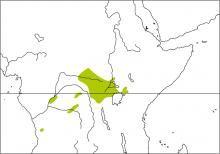 Scaly-breasted Illadopsis (Illadopsis albipectus)
