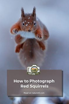 In this wildlife photography tutorial learn how to photograph the adorable and quick-footed red squirrels! Lots of tips to improve your shots. Wildlife Photography Tips, Photography Basics, Photography Tips For Beginners, Photography Courses, Underwater Photography, Photography Tutorials, Cool Pictures, Cool Photos, Red Squirrel