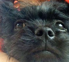 Affenpinscher (Albert)