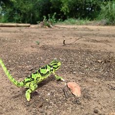Only went and saw a friggin Chameleon! por: poo_blatch