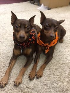 Our very own minpins ready for #Halloween! #GreatSkyGifts