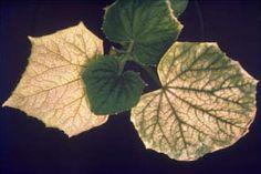 Kasvihuoneviljely - Ravinnepuutokset | Farmit