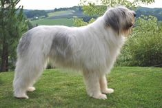 Romanian Mioritic Shepherd Dog Dog Breed Information - American Kennel Club Cute Puppies, Cute Dogs, Unusual Dog Breeds, Akc Breeds, Tallest Dog, Dog Information, Different Dogs, Old Dogs, New Tricks