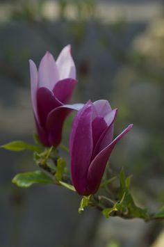 Magnolia soulangeana 'burgundy'