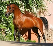 caballos pura sangre -