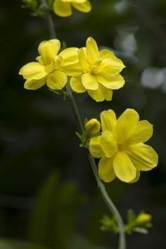Zone 6 Jasmine Plants - Growing Jasmine In Zone 6 Gardens