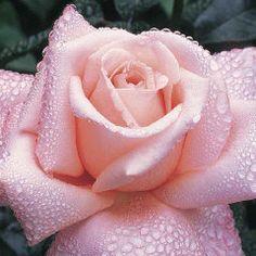 New Zealand Hybrid Tea Rose | Hybrid Tea Roses | Edmunds' Roses