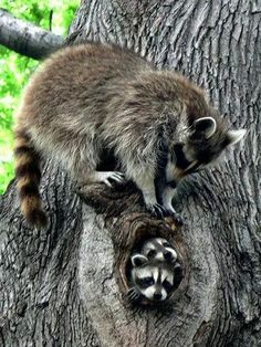 Adorable raccoon family in tree Nature Animals, Animals And Pets, Beautiful Creatures, Animals Beautiful, Magical Creatures, Cute Baby Animals, Funny Animals, Raccoon Family, Baby Raccoon