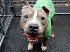 POTTER'S ANGEL RESCUE- 1/6/15 Manhattan Center -P  My name is BRONCO. My Animal ID # is A1023650. I am a male gray and white pit bull. The shelter thinks I am about 3 YEARS old.  I came in the shelter as a STRAY on 12/20/2014 from NY 10452, owner surrender reason stated was OWN EVICT.