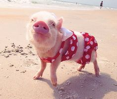 This is a teacup piglet in a bathing suit. Enjoy.