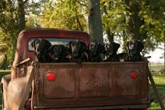 black lab puppies in the bed of a vintage ford truck