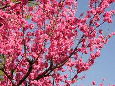 桃の花 Hina Matsuri, Plant Art, Spring, Flowers, Plants, Plant, Royal Icing Flowers, Flower, Florals