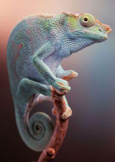 Kyongia fischeri (Fisher's chameleon) photographed by Igor Siwanowicz