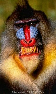 The mandrill (Mandrillus sphinx) is a primate of the Old World monkey (Cercopithecidae) family.It is one of two species assigned to the genus Mandrillus, along with the drill. Both the mandrill and the drill were once classified as baboons in the genus Pa
