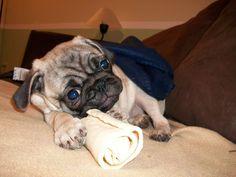 I got my bone... Life is good! #Pug #Dog #Bone #LifeIsGood #Cute