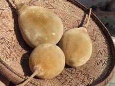 Adansonia digitata / Baobab