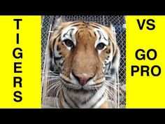 Tigers encounter a hidden GoPro camera. Must see!