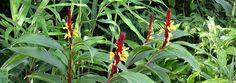 Cautleya-spicata-robusta-800-pano.jpg (800×283)