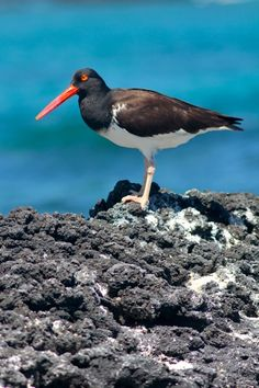 The colorful Galapagos Oystercatcher, whose red-ringed eyes and extraordinary beak formed a striking profile against the backdrop of black lava and crashing surf