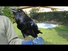 Öcsi a holló / Raven talking Raven, Youtube, Animals, Animales, Animaux, Ravens, Crows, Animal, Animais