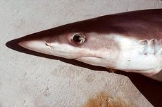 #SharkOfTheDay: Did you know that night sharks have green eyes?
