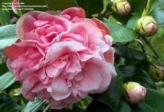 , Japanese Camellia ;Debutante(Camellia japonica) at Daves Garden.