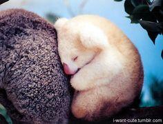 An albino baby koala bear