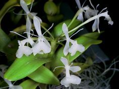 Epidendrum trialatum - Found in Nicaragua, Panama and Costa Rica in rain and semi-deciduous forests at elevations of 50 to 1000 meters as a miniature to small-sized, hot to warm-growing epiphyte.