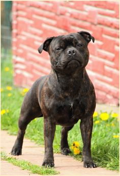 More Than 42 Staffordshire Bull Terrier staffordshire bull terrier staffordshire bull terrier staffordshire bull terrier Stafford Bull Terrier, I Love Dogs, Cute Dogs, Cute Pitbulls, Pit Dog, Nanny Dog, Dog Pee, Bully Dog, Labrador Retriever Dog