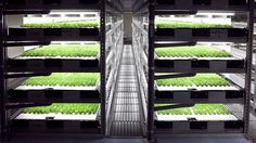 THE WORLD'S FIRST FULLY ROBOTIC FARM OPENS IN 2017 | Robots will be the farmers of the future. A company in Japan is building an indoor lettuce farm that will be completely tended by robots and computers... [The Future of Agriculture: http://futuristicnews.com/tag/future-agriculture/ The Future of Food: http://futuristicnews.com/tag/future-food/]