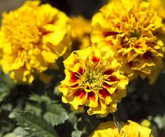 Who doesn't love marigold's bright yellow, orange and red flowers? More of the easiest seeds to start: http://www.bhg.com/gardening/yard/garden-care/easiest-seeds-to-start/?socsrc=bhgpin060913marigold=7