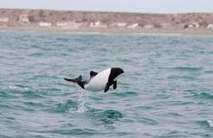 I love these little guys!Commerson's dolphin
