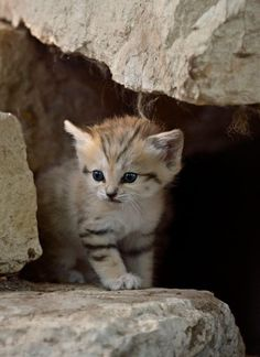 sand cat... SO adorable!!! - agree...cute.. ;D
