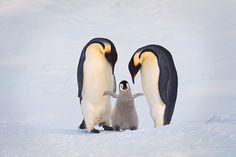 Emperor penguin family, Aptenodytes forsteri, Antarctica © Frans Lanting / LUZphoto