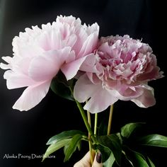 Your classic pink peony: Sarah Bernhardt.  Harvested in Alaska late June-early September! #peonyseason #alaskapeony #peony #pink
