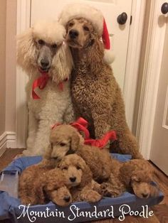 christmas standard poodle family red apricot white standard poodle
