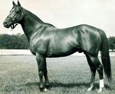 Triple Crown Winner,1941 Whirlaway. AKA Mr. Longtail, This amazing horse was as difficult as he was beautiful. Eddie Arcaro never looked forward to riding him, only to the results!  Sadly, he did not pass his gift for speed onto his foals. Anyone have a TB with Whirlaway in the pedigree?  I've never seen one.