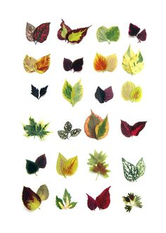 coleus collection (mary jo hoffman)