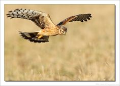 Hen Harrier, Blauwe Kiekendief