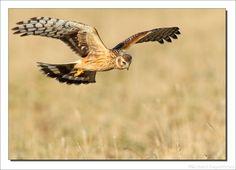 Hen Harrier, Blauwe Kiekendief