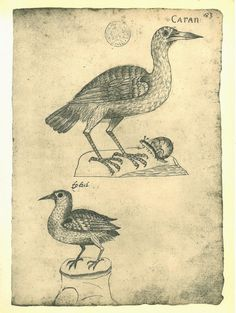 aycarambas:  Birds Vintage Print Maranhao Brazil Natural History Art Carao Toitoy at CarambasVintage http://etsy.me/12gnzsr