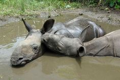 Despite Their Misfortunes, Two Orphaned Rhinos Form a Strong Bond in India http://www.onegreenplanet.org/animalsandnature/despite-their-misfortunes-two-orphaned-rhinos-form-a-strong-bond-in-india/