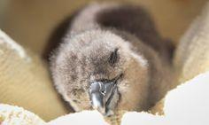 Penguin chick @sanccob