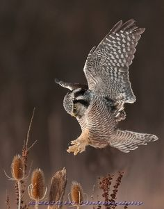 Northern Hawk Owl coming in for a pinpoint landing