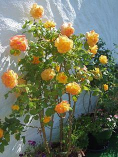 Rose i krukke