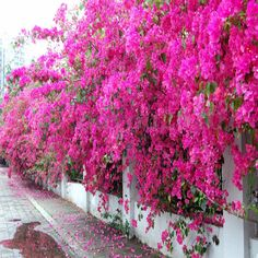 100pcs Mix-Color Jardim Bougainvillea Senna willd Árvore Bonsai Sementes Flor