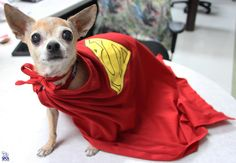 Meet 8-year-old super pup, Rocco! The pint sized cutie pie is available for adoption at the SPCA of Texas' Jan Rees-Jones Animal Care Center. <3