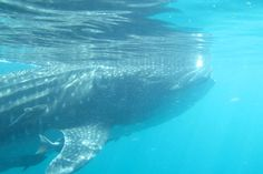 Swimming With Whale Sharks In Baja - Forbes