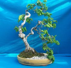 Contorted Hazelnut bonsai - I have such a love for these bushes and I am definitely going to make a Bonsai out of one! For curly branching material: Wiandi Ficus (wavy branching), Contorted Hazelnut/Harry Lauder's (curly), Corkscrew Willow (extremely curly/spiral)